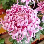 第46回はちのへ菊まつり 八戸三社大祭の山車の風情を|YOMIURI ONLINE